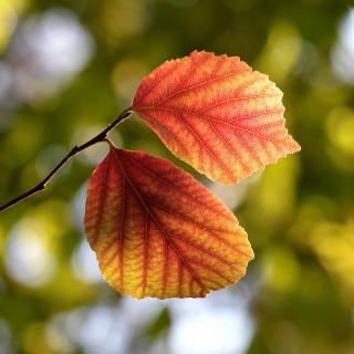 Autumn Macro Leaves - Obrázkek zdarma pro iPad Air