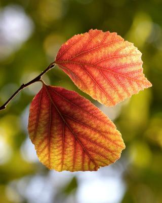 Autumn Macro Leaves - Obrázkek zdarma pro 132x176