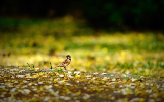Little Sparrow Background for Android, iPhone and iPad