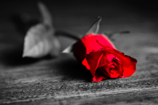 Red Rose On Wooden Surface Background for Android, iPhone and iPad