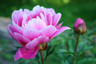 Free Gorgeous Pink Peony Picture for Android, iPhone and iPad