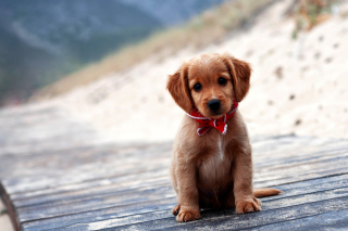 Beagle Puppy Picture for Android, iPhone and iPad