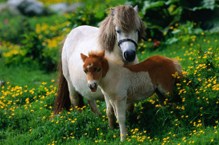 Pony Family Picture for Android, iPhone and iPad