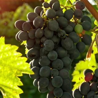 Bunch of Grapes - Obrázkek zdarma pro 320x320