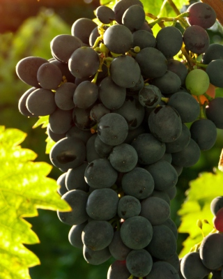 Bunch of Grapes - Obrázkek zdarma pro Nokia Asha 305