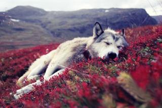 Wolf And Flowers - Obrázkek zdarma pro Samsung Galaxy Tab 7.7 LTE