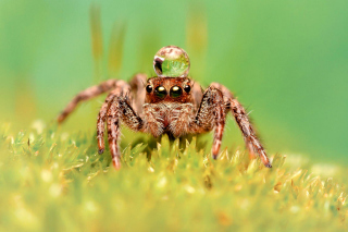Free Poisonous Spider Tarantula Picture for Android, iPhone and iPad