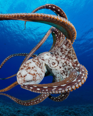 Octopus in the Atlantic Ocean - Obrázkek zdarma pro Nokia X1-01