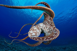 Octopus in the Atlantic Ocean Background for Android, iPhone and iPad