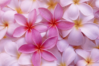 Thai Flowers - Frangipani, Plumeria Background for Android, iPhone and iPad