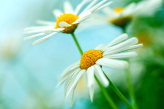Macro Daisies Background for Android, iPhone and iPad
