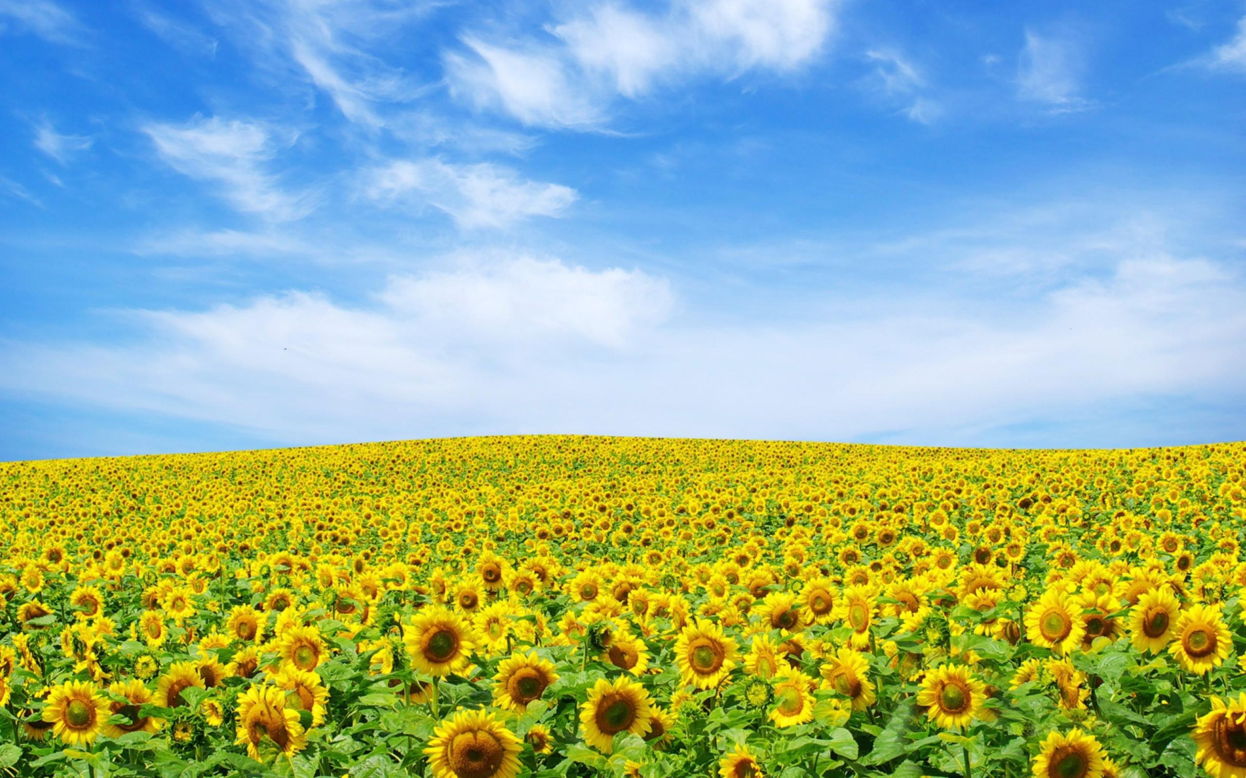 подсолнухи поле sunflowers field  № 419086 загрузить
