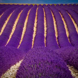 Lavender garden in India - Obrázkek zdarma pro 320x320