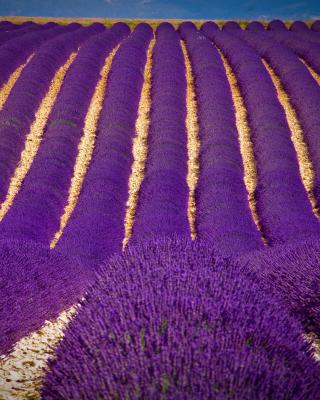 Lavender garden in India - Obrázkek zdarma pro 360x400