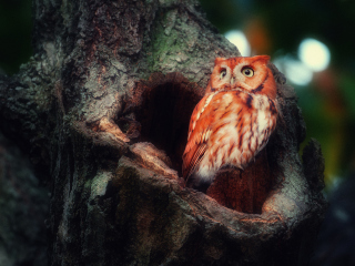 Red Owl Wallpaper for Android, iPhone and iPad