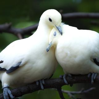 Pigeon Couple - Obrázkek zdarma pro 2048x2048