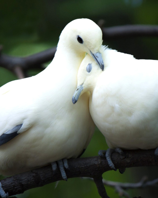 Pigeon Couple - Obrázkek zdarma pro Nokia 5233