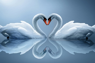 Swans Couple Background for Android, iPhone and iPad