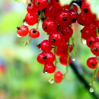 Red currant with Dew - Obrázkek zdarma pro iPad 3