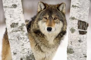 Wolf in Midwestern United States - Obrázkek zdarma pro Fullscreen Desktop 1280x960