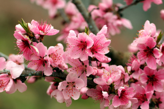 Spring apple tree blossoms Background for Android, iPhone and iPad