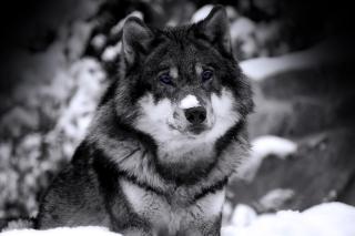 Wolf In Winter - Obrázkek zdarma pro Fullscreen Desktop 1280x960