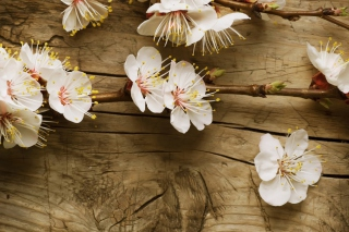 Cherry Flowers Background for Android, iPhone and iPad