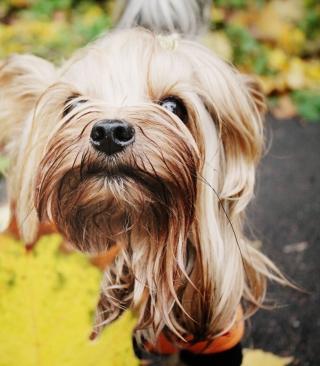 Yorkshire Terrier - Obrázkek zdarma pro Nokia Asha 202
