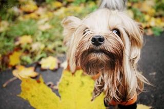 Yorkshire Terrier - Obrázkek zdarma pro Motorola DROID 3