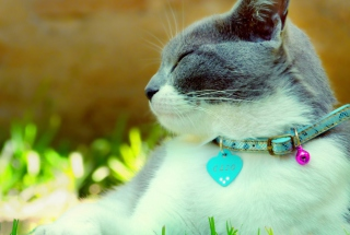 Cat With Collar Picture for Android, iPhone and iPad