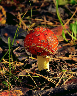 Red Mushroom - Obrázkek zdarma pro Nokia Asha 310