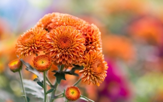 Orange Chrysanthemum Background for Android, iPhone and iPad