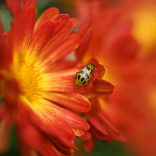 Red Flowers and Ladybug - Obrázkek zdarma pro 208x208