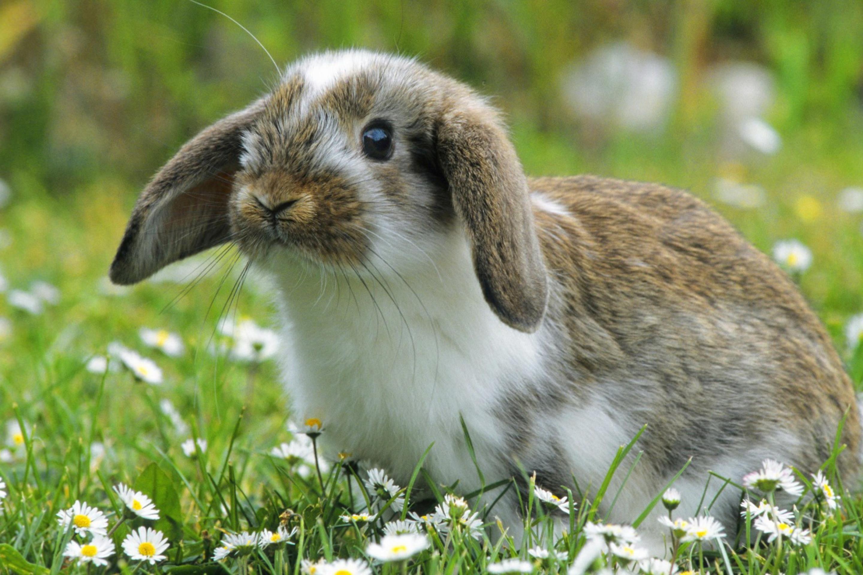 природа животное кролик  № 1593118  скачать