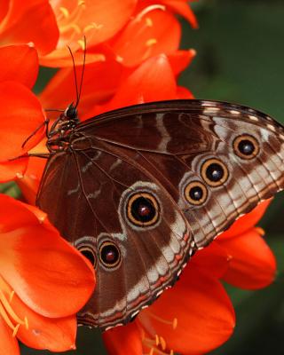 Butterfly - Obrázkek zdarma pro iPhone 5