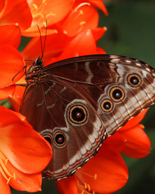 Butterfly - Obrázkek zdarma pro Nokia Lumia 800