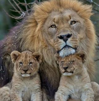 Lion Family - Obrázkek zdarma pro iPad