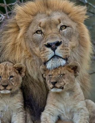 Lion Family - Obrázkek zdarma pro Nokia Asha 502