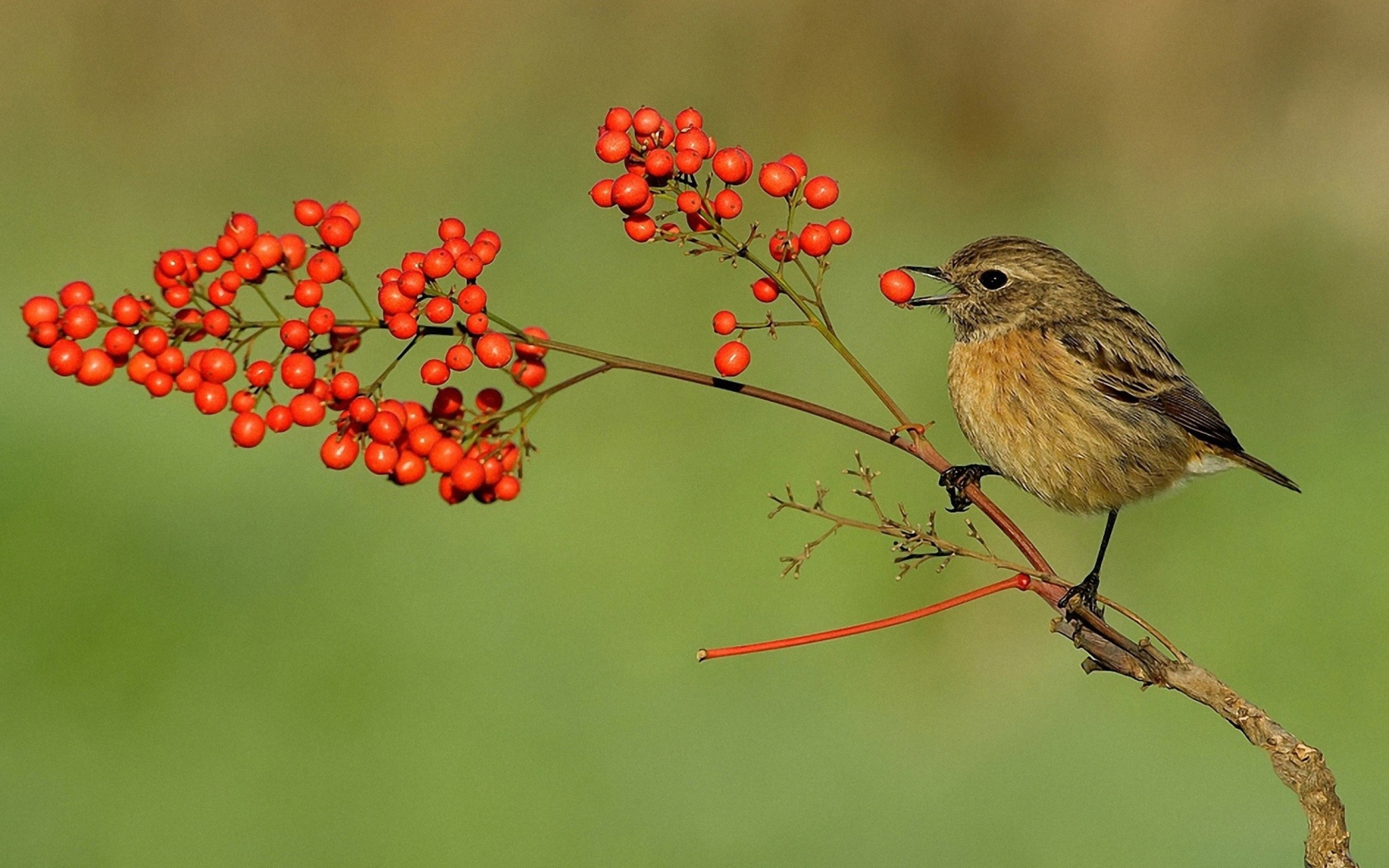 Little Bird And Wild Berries Wallpaper for Widescreen ...