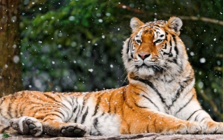 Siberian Tigress Background for Android, iPhone and iPad