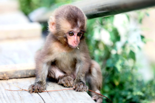 Little Monkey Picture for Android, iPhone and iPad