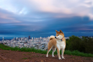 Akita Inu Japanese Dog Background for Android, iPhone and iPad