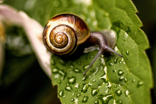 Free Snail On Leaf Picture for Android, iPhone and iPad
