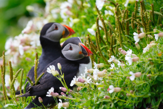 Puffin Birds on Caroline Islands Background for Android, iPhone and iPad