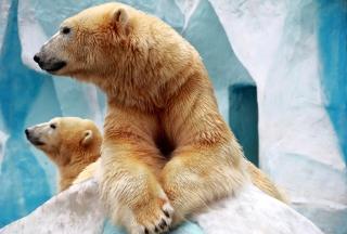 Polar Bears Picture for Nokia XL