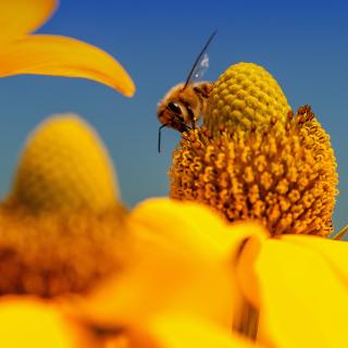 Honey bee - Obrázkek zdarma pro iPad mini 2