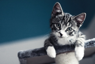 Free Cute Grey Kitten Picture for Android, iPhone and iPad
