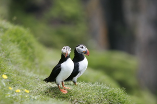 Couple Of Puffins Wallpaper for Android, iPhone and iPad