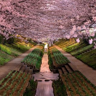 Wisteria Flower Tunnel in Japan - Obrázkek zdarma pro iPad 2