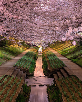 Wisteria Flower Tunnel in Japan - Obrázkek zdarma pro 768x1280